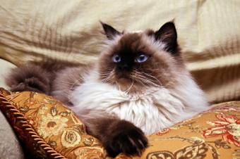 https://cf.ltkcdn.net/cats/images/slide/89694-849x565-Himi-on-pillow.jpg