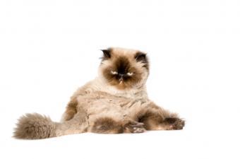 https://cf.ltkcdn.net/cats/images/slide/89695-850x563-Persian-Himi.jpg