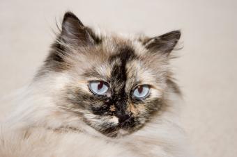 https://cf.ltkcdn.net/cats/images/slide/89698-849x565-Tortie-Himi.jpg