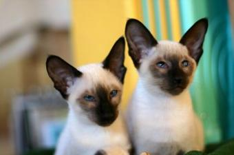 8 Types of Siamese Cats