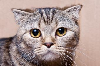 Tabby Cat Pictures of Different Breeds