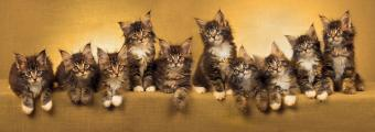 Gorgeous Maine Coon Cat Pictures