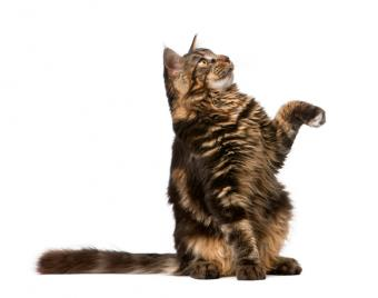 Maine Coon Cat Health Problems You Should Be Aware Of