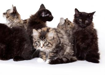 https://cf.ltkcdn.net/cats/images/slide/89917-819x586-maine-coon7.jpg