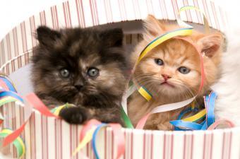 https://cf.ltkcdn.net/cats/images/slide/89961-850x563-persian-kittens-in-box.jpg