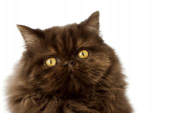 https://cf.ltkcdn.net/cats/images/slide/89962-849x565-chocolate-persian-closeup.jpg