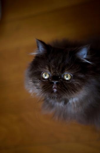 https://cf.ltkcdn.net/cats/images/slide/89963-555x850-big-yellow-eyed-persian.jpg