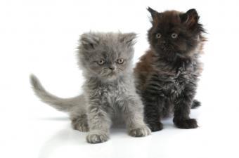 https://cf.ltkcdn.net/cats/images/slide/89965-850x563-persian-gray-and-black.jpg