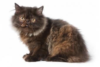 https://cf.ltkcdn.net/cats/images/slide/89967-846x567-brown-persian-kitten-teen.jpg