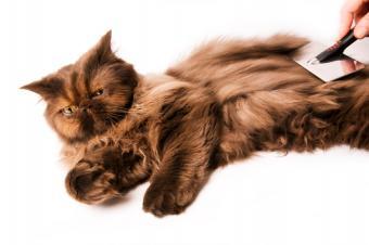 https://cf.ltkcdn.net/cats/images/slide/89968-849x565-chocolate-persian-getting-groomed.jpg