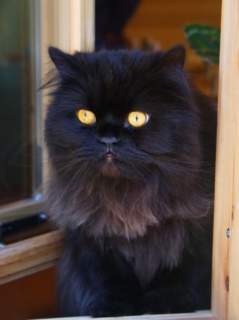 https://cf.ltkcdn.net/cats/images/slide/89969-599x801-chocolate-persian-window.jpg