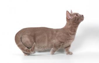 https://cf.ltkcdn.net/cats/images/slide/89983-800x512-Munchkinkitty_1.jpg
