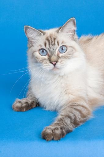 https://cf.ltkcdn.net/cats/images/slide/89996-566x848-Lovely_Ragdoll_4.jpg
