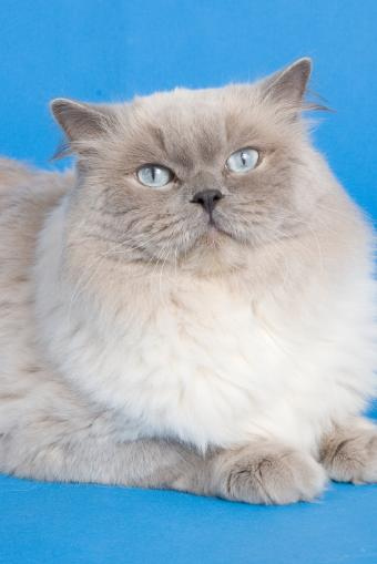 https://cf.ltkcdn.net/cats/images/slide/89998-566x848-Lovely_Ragdoll_6.jpg