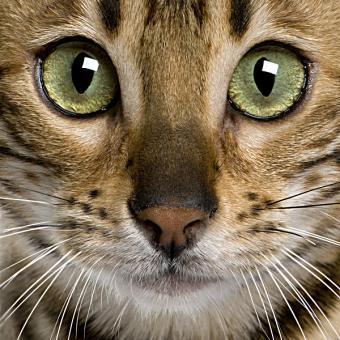 Stunning Bengal Cat Photos