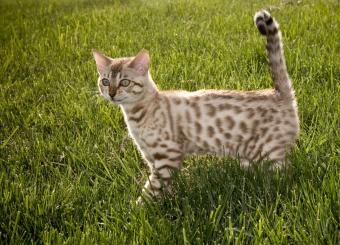 https://cf.ltkcdn.net/cats/images/slide/90001-800x576-Bengal_kitten_in_the_grass.jpg