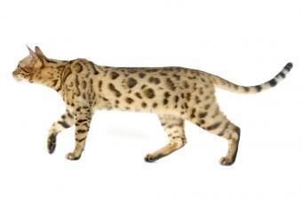 https://cf.ltkcdn.net/cats/images/slide/90002-800x536-Adult_Bengal.jpg