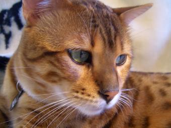 https://cf.ltkcdn.net/cats/images/slide/90003-800x600-Bengal_closeup_2.jpg