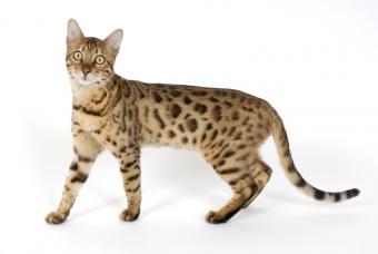 https://cf.ltkcdn.net/cats/images/slide/90005-800x536-Bengal_pattern.jpg