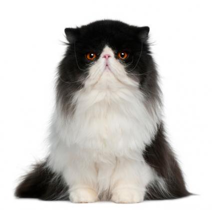 Black And White Spotty Ragdoll Cat