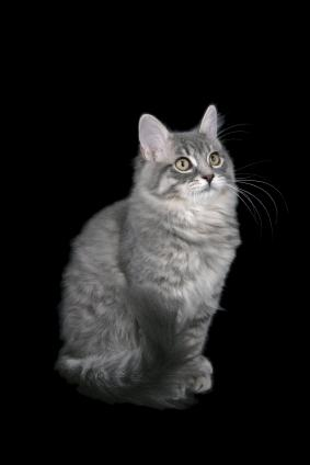 Ragamuffin Cat