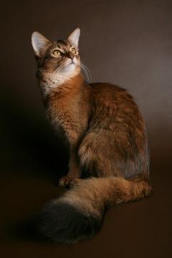 Somali cat formal portrait