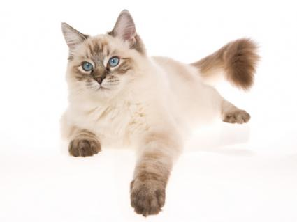 Seal point lynx Ragdoll