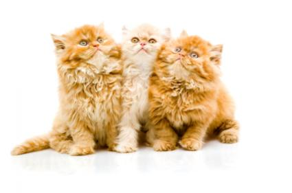 Trio of Persian kittens