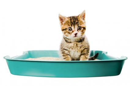 Kitten in the litter box