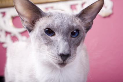 closeup of a gray and white siamese cat