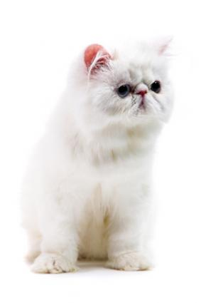 White Persian with very flat face White Persian; © Vasiliy Koval | Dreamstime.com