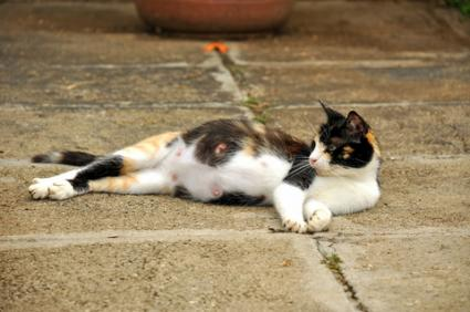 A clearly pregnant cat; © Paul Mckinnon | Dreamstime.com