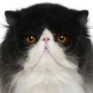 Persian Cats   LoveToKnow