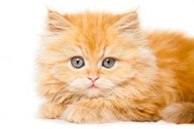 Persian Cats Orange And White