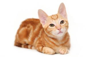 Image result for photos of cats - orange tabbies