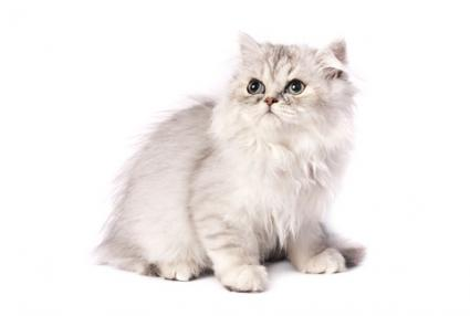 Chinchilla Persian; Copyright Kalinin Dmitriy at Dreamstime.com