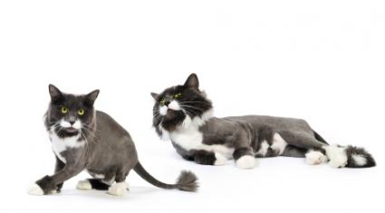 Alone! geriatric cats fur grows back shaved join