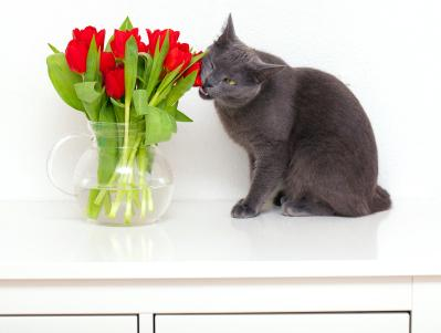 Cat trying to chew a toxic tulip