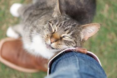 Cat in heat rubbing against owner's leg