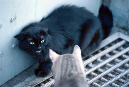 aggresive cat