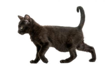Potbelly cat