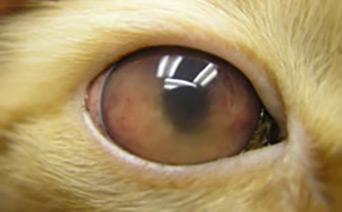 Cat Eye Glaucoma Treatment