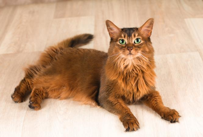 Somali cat with bright green eyes