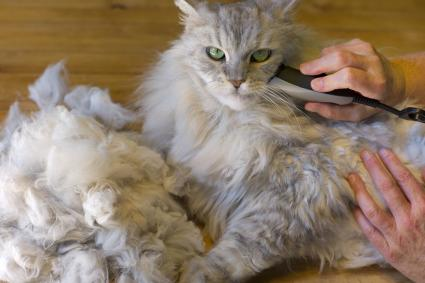 A Maine Coon cat gets shaved