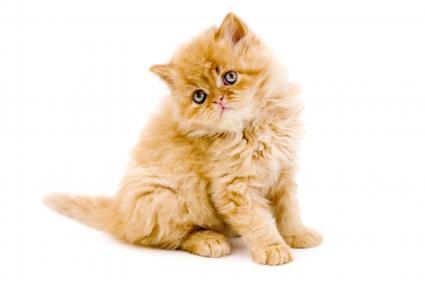Gold Persian kitten