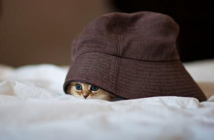 Persian kitten under brown hat