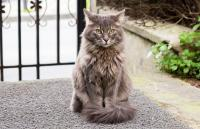 Portrait Of Maine Coon Cat Sitting At Entrance Gate In Yard