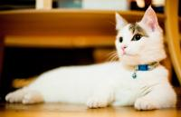 Tabby Munchkin kitten relaxing