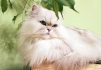 Persian Cat Lying At Home
