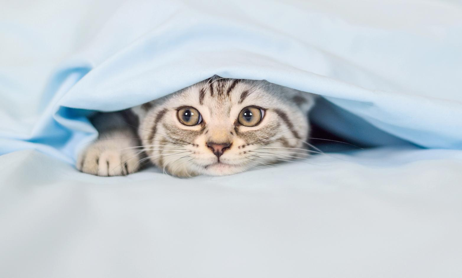 Kitten hiding under quilt cover